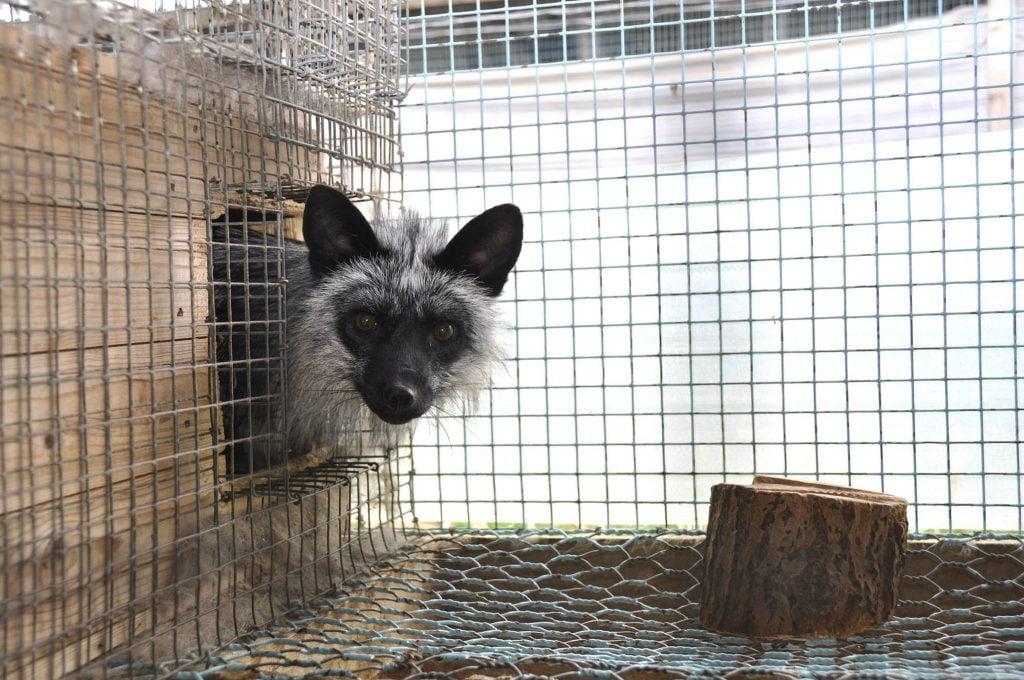 Sølvrev i nettingbur på pelsdyrfarm. Foto: Dyrebeskyttelsen Norge/Nettverk for dyrs frihet