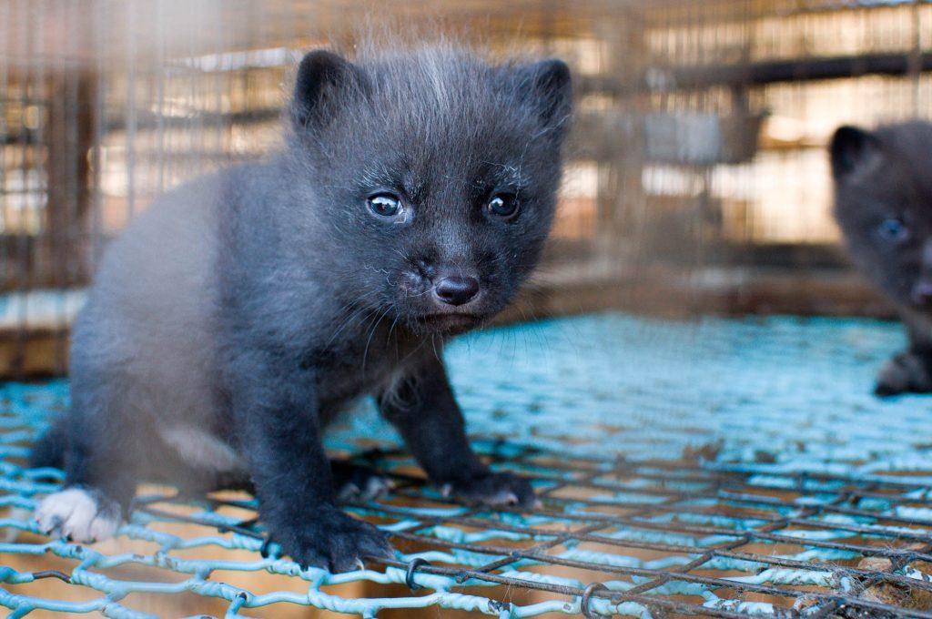 Bilde fra en norsk pelsfarm (2010). Foto: Nettverk for dyrs frihet & Dyrebeskyttelsen Norge
