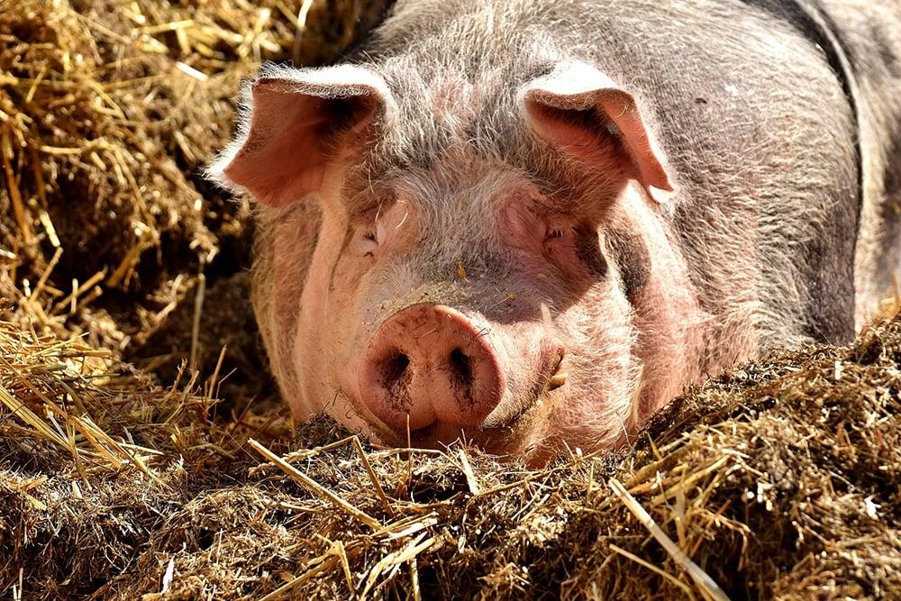 Gris som ligger i bingen, dyrevelferd er på topp