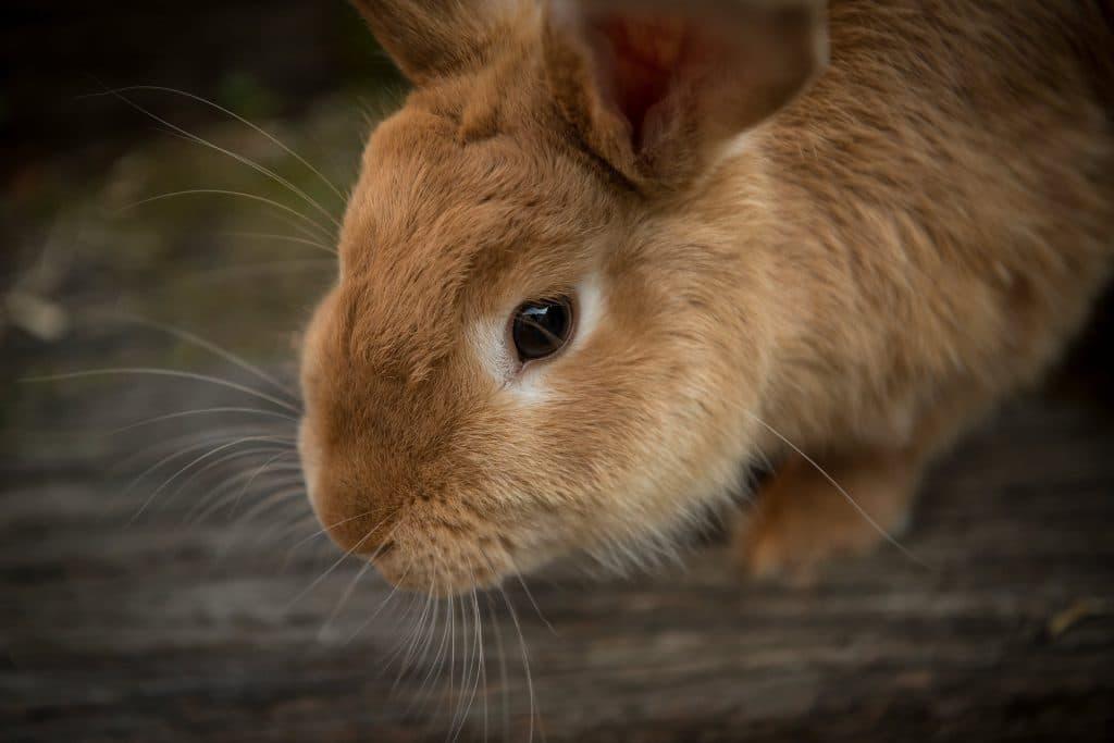 Nyttig om kanin. Foto: Pixabay.com