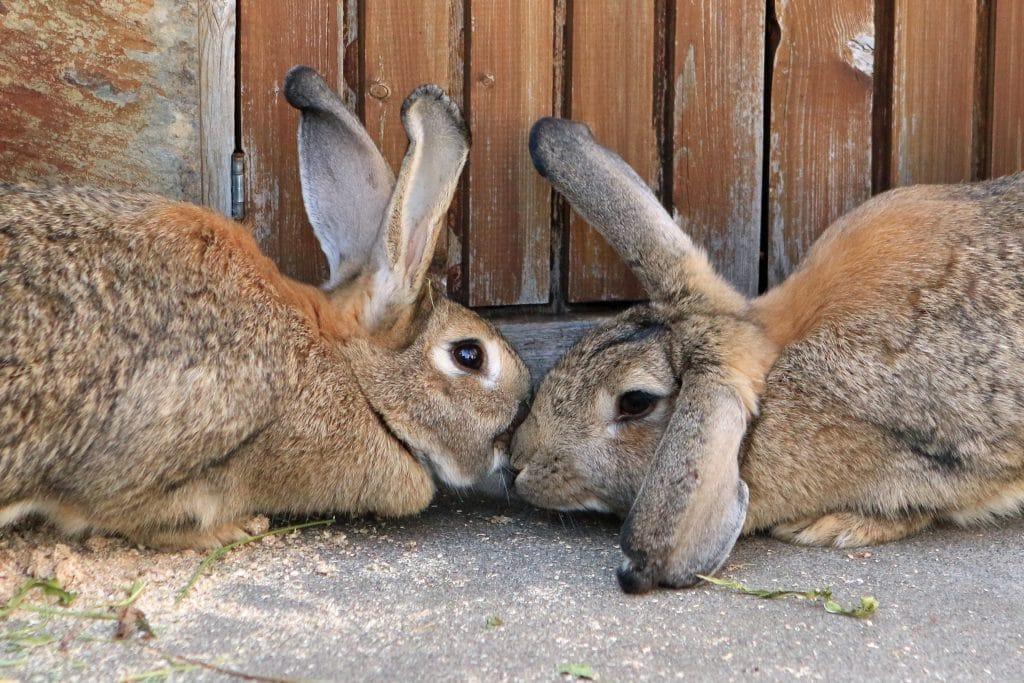 temakveld om kanin