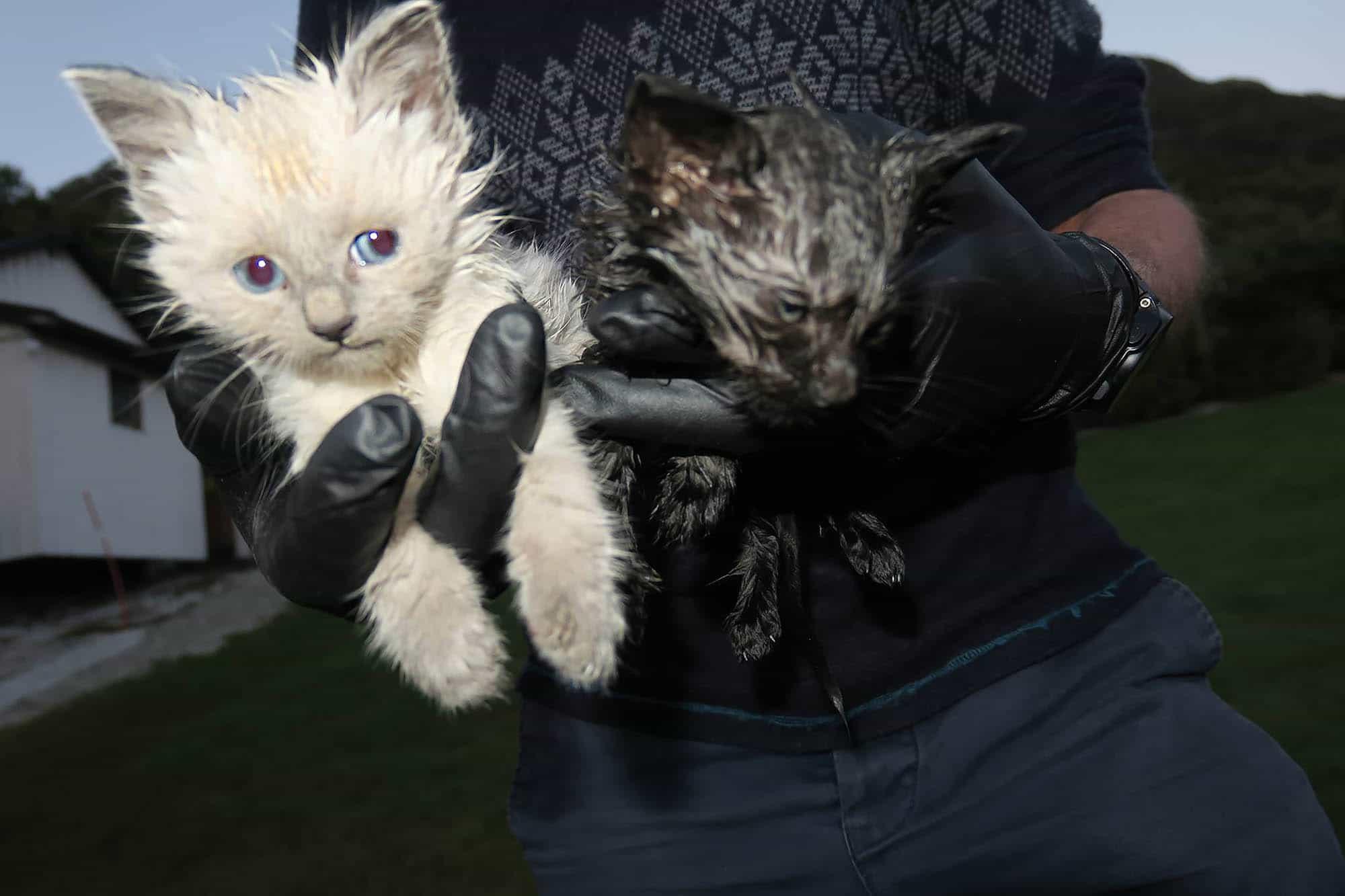 Dumpet kattunger Foto Dyrebeskyttelsen Norge Sogn og Fjordane