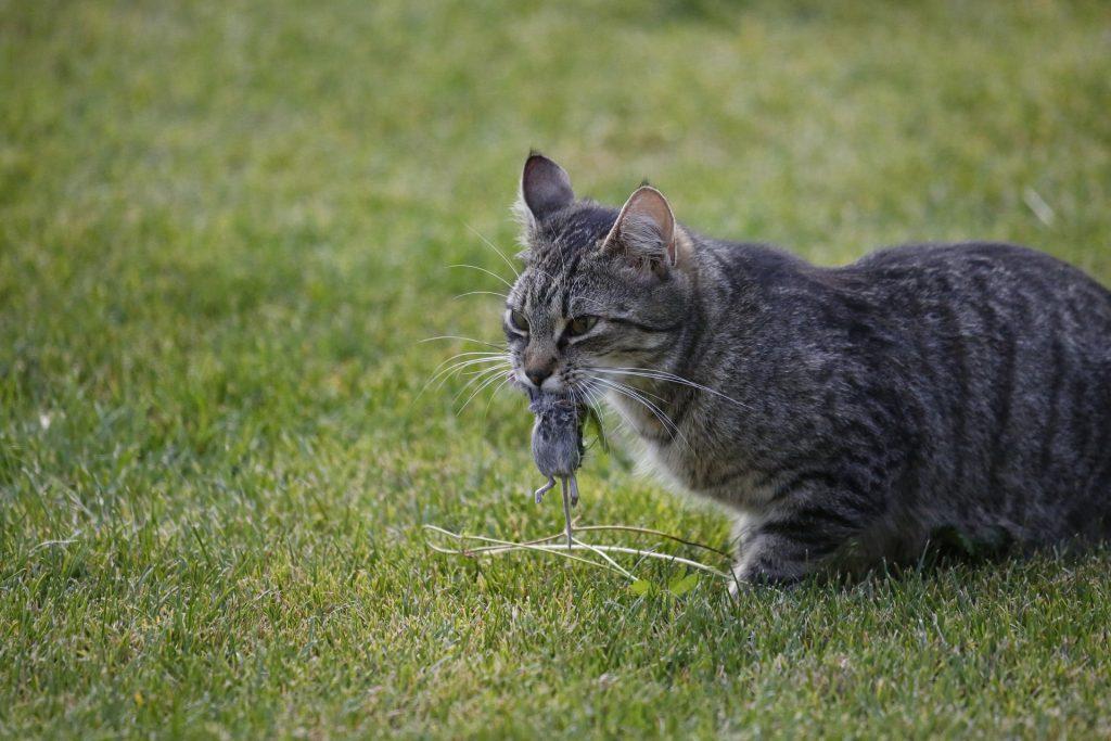 Katt som har fanget mus. Foto: Pixabay