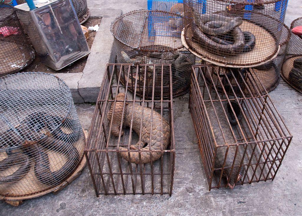 Bilde av pangolin i bur på dyremarked. Foto: Dan Barrett/Wikimedia Commons