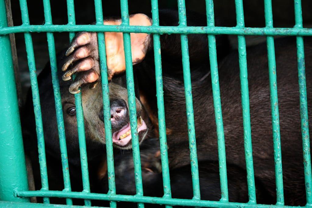 Svartbjørn i bur. Foto: Shutterstock