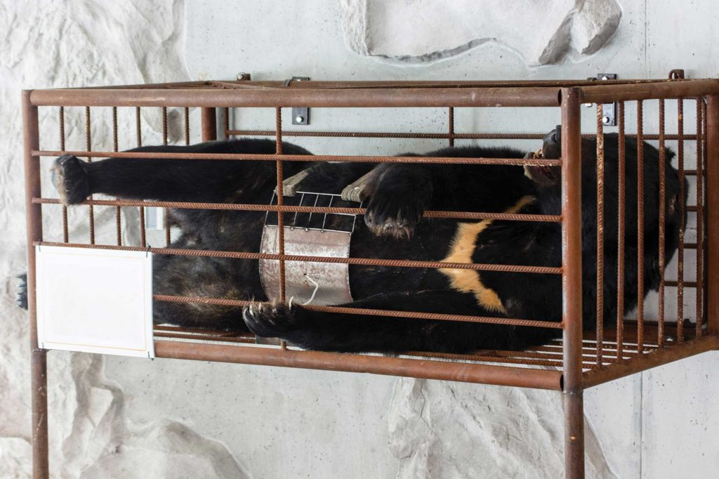 Bjørn i fangenskap for tapping av bjørnegalle. Foto: Shutterstock.