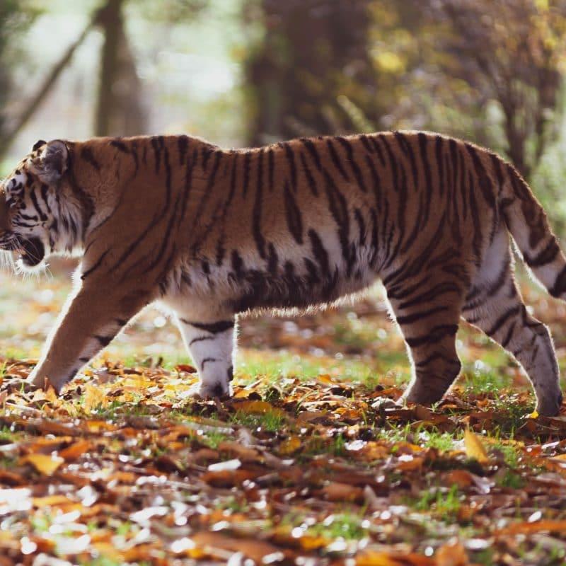 Tiger, Pixabay
