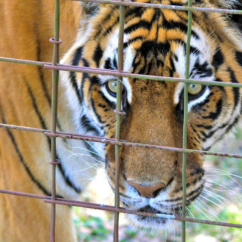 Tiger i bur, pixabay