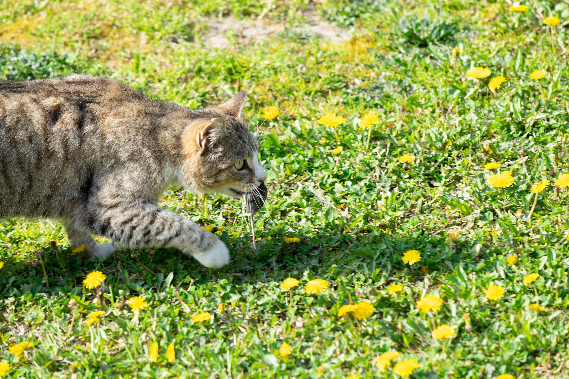 Katt og mus. Foto: Pixabay