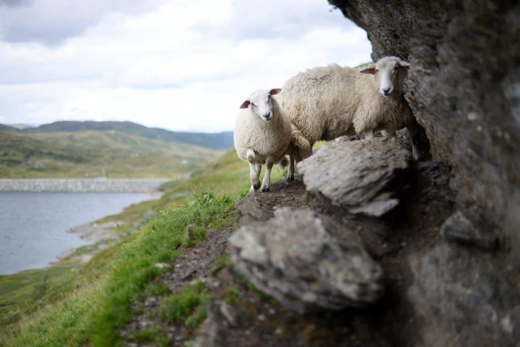 Bilde av sau og lam i fjellet på utmarksbeite. Foto: Pixabay