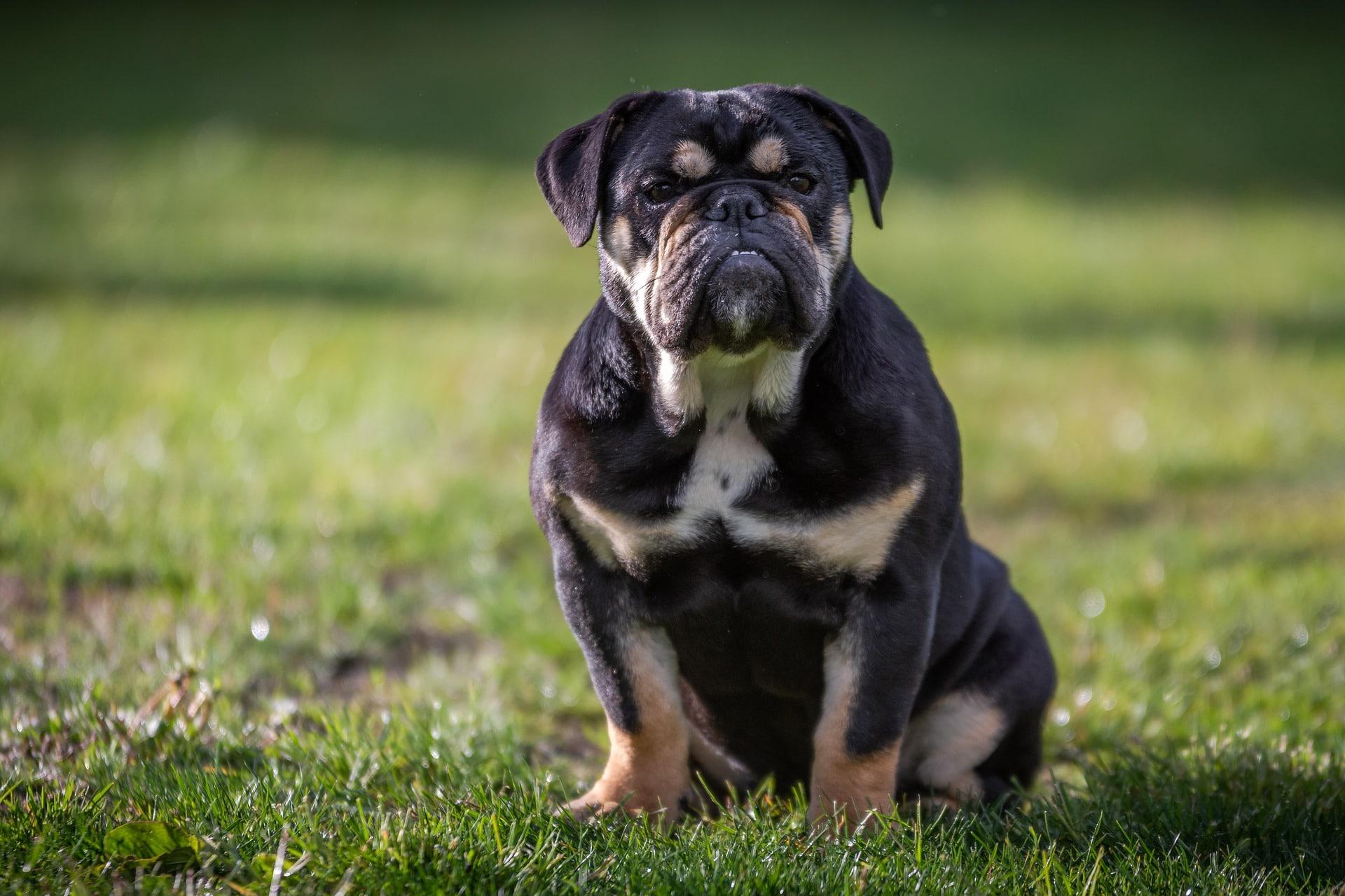 Bilde av Engelsk bulldog. Foto: Pixabay.