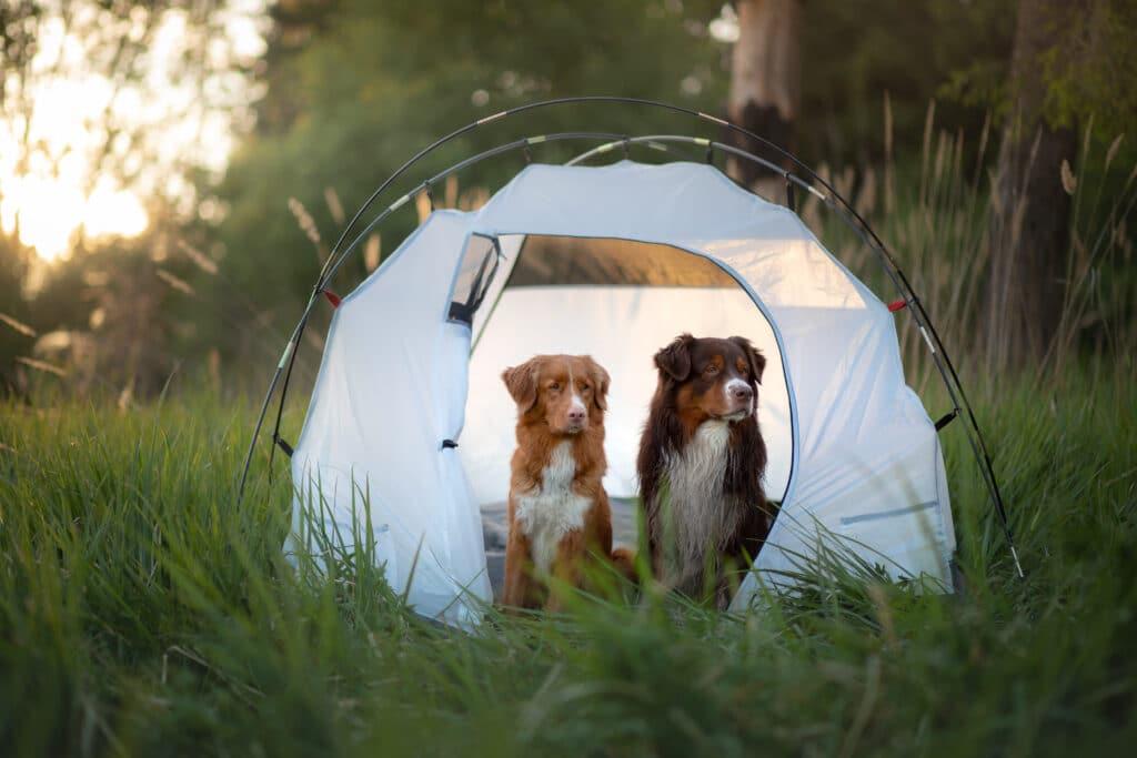 Hunder på telttur. Foto: Shutterstock