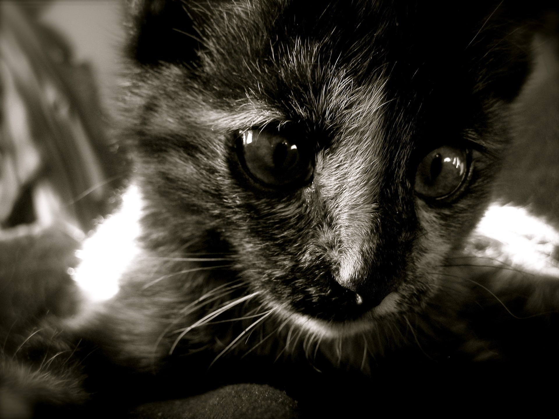 Liten svart og hvit kattunge. Foto: Pixabay