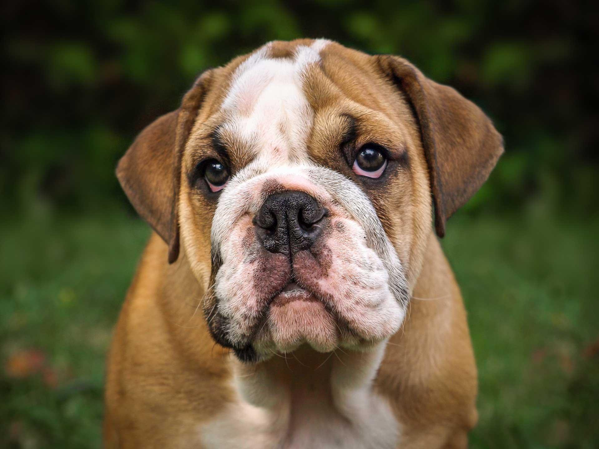 Valp engelsk bulldog. Foto: Pixabay
