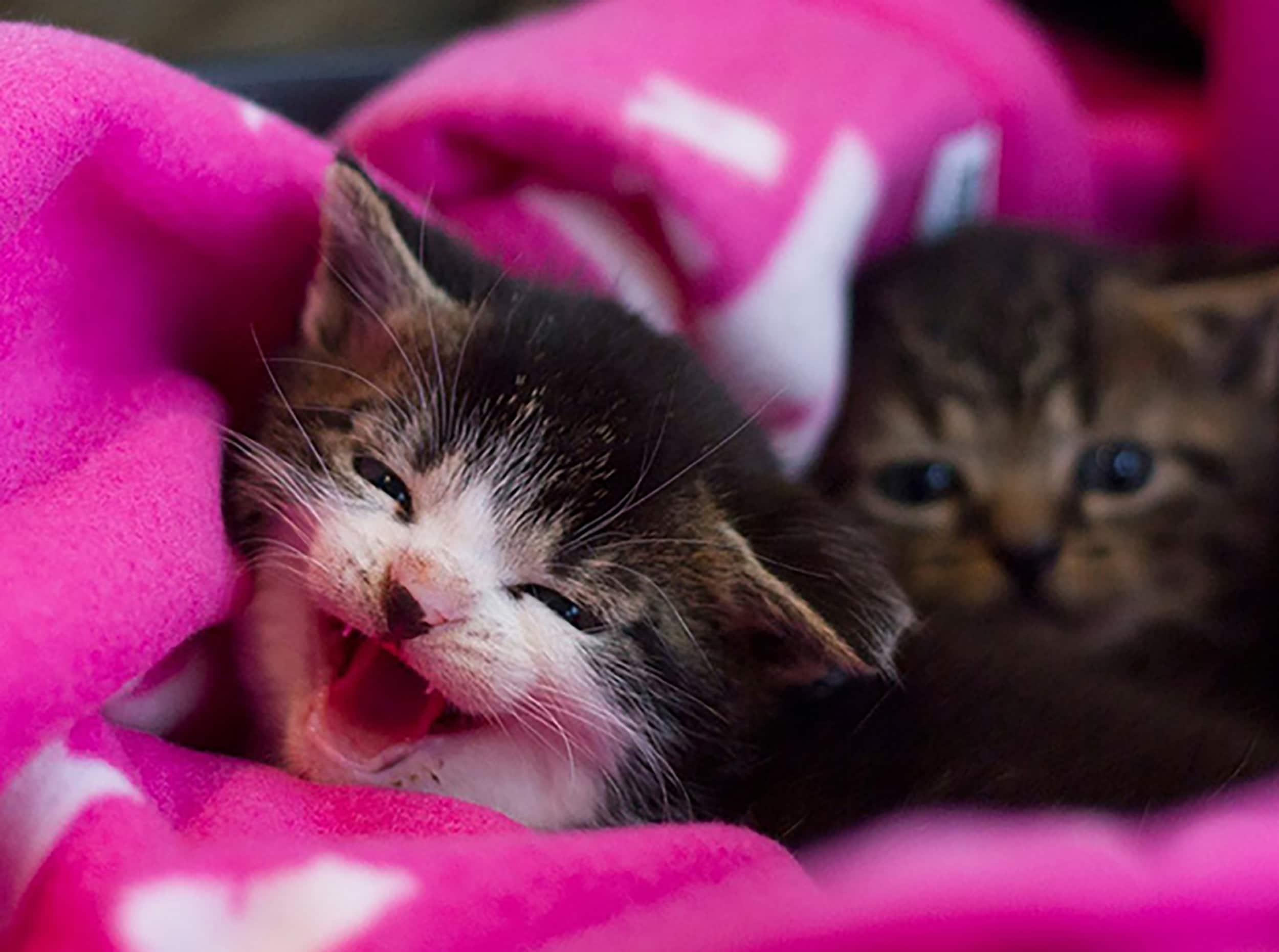 Kattungene Pilgrim og Ponzu ble reddet fra Røst. Foto_Frida Pettersen_Dyrebeskyttelsen Norge Bodø