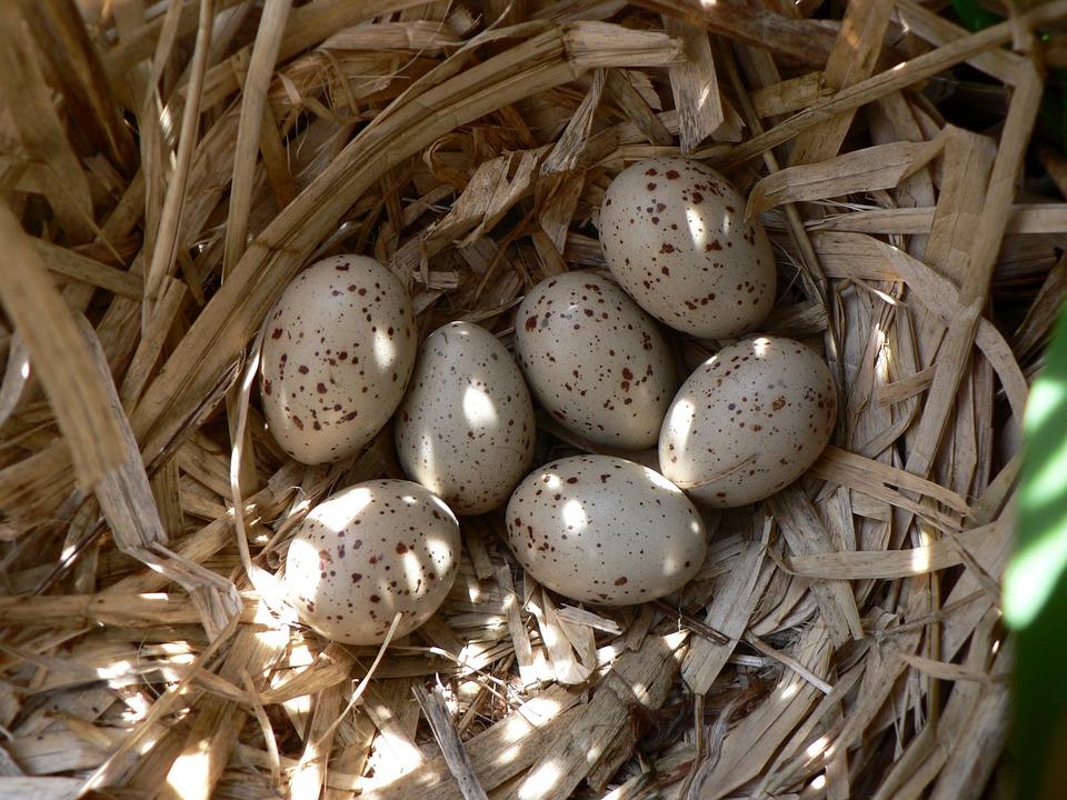 Fuglerede med egg. Foto: Pixabay