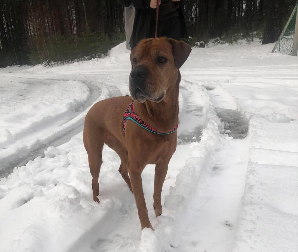 Bilde av hunden Lilo til omplassering. Foto: Dyrebeskyttelsen Norge Ringerike
