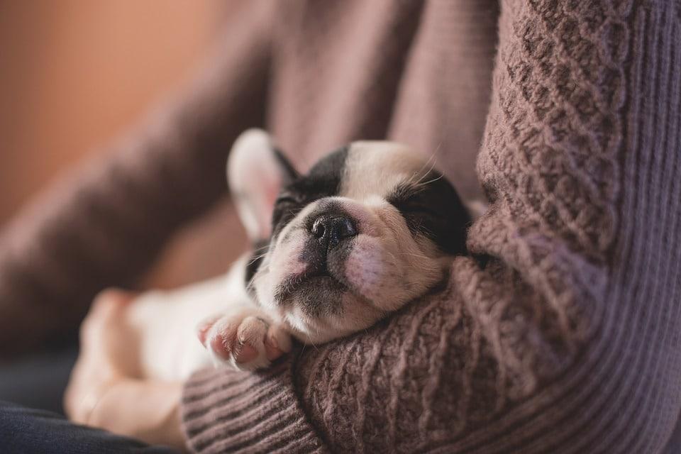 Fransk bulldog valp. Foto: Pixabay